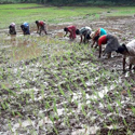Rice sowing time in Aarey